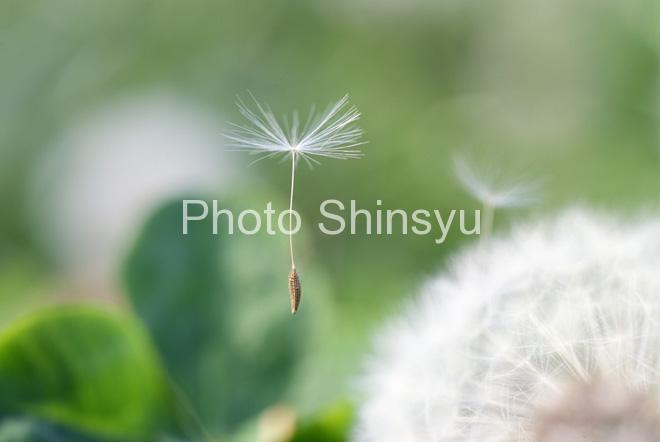 タンポポ綿毛