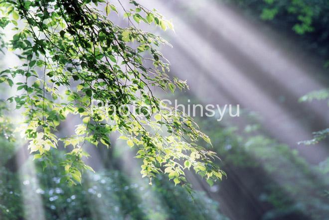 新緑と光芒