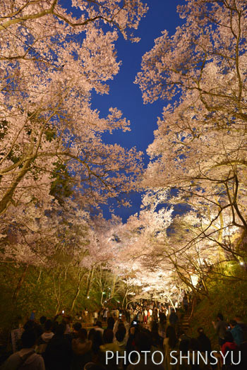 高遠城址公園の夜桜