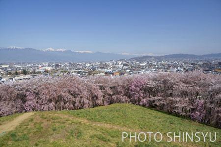 松本市弘法山の桜と北アルプス