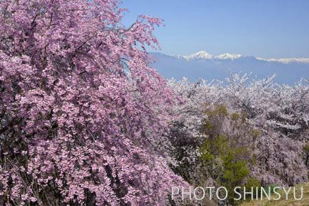 松本市弘法山の桜と常念岳