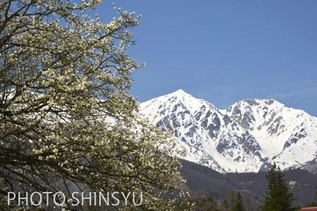 コブシと白馬鑓ヶ岳・杓子岳