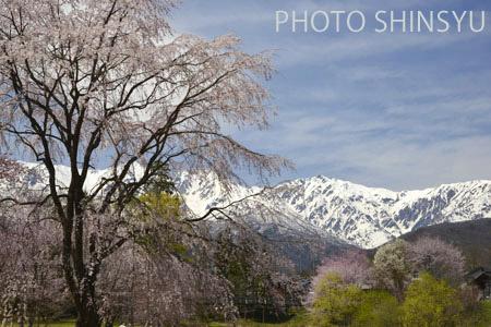 咲き競う桜と白馬岳