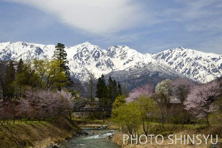 咲き競う桜と白馬三山