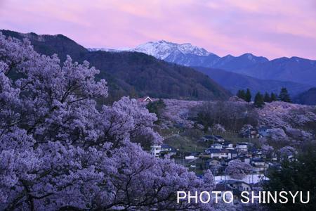 高遠城址公園の桜と仙丈ヶ岳夕景