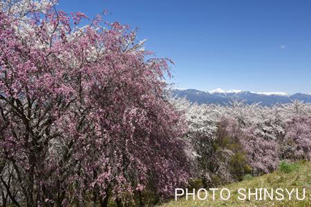 弘法山の桜と常念岳2