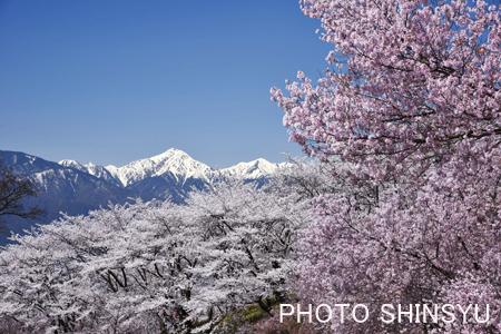 弘法山の桜と常念岳1