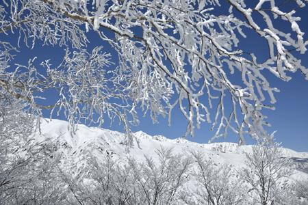 霧氷のダケカンバと白馬三山