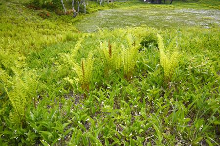 スズラン咲く湿原