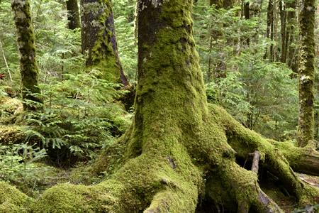 苔が樹肌にもビッシリと
