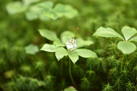 苔のすき間からゴゼンタチバナが顔を出す