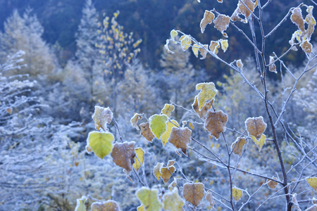 霜に包まれるダケカンバの残り葉