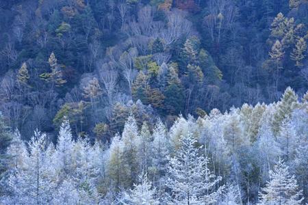 朝霜に覆われたカラマツ林