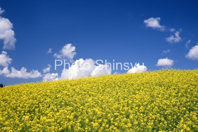 菜の花畑と雲